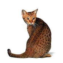 Бенгальская порода кошек bengal