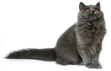 О породе британских кошек. Британские котята, питомник Мирасинель | 250x388