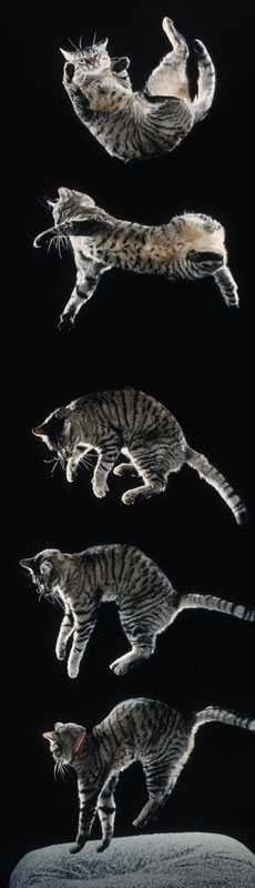 Падающая кошка - техника разворота и приземления на лапы