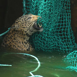 Спасение дикого леопарда из воды (фоторепортаж)