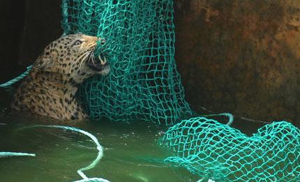 леопард упал в резервуар с водой